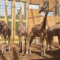 1250862697-05-lam-architects--giraffes-inside-1 1250862697-05-lam-architects--giraffes-inside-1