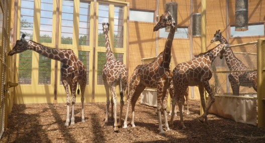 1250862697-05-lam-architects--giraffes-inside-1