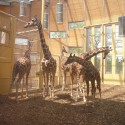 1250862705-05-lam-architects--giraffes-inside-2