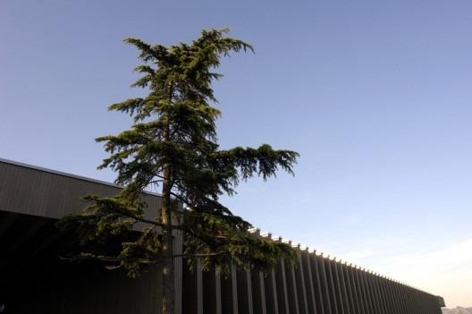 DSC30675_edited 28. Cedrus libani, also known as Lebanon Cedar, is part of the Pinaceae family with an origin from West Asia. With a height of TBD ft., the exhibited Linden is TBD years old. / © Enea